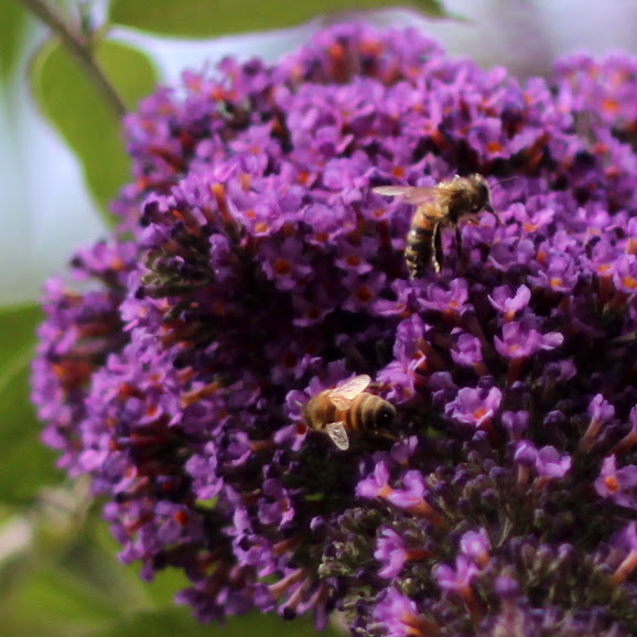bees on buddleia flowers